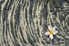 Plumeriablume auf sandigem Lavafelsen Lizenzfreie Stockfotografie