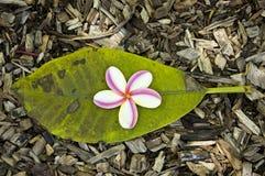 Plumeriablume gegen grünes Blatt. Stockfotografie