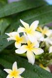 Plumeriablume in voller Blüte stockfotos