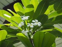 Plumeriablume von Thailand lizenzfreie stockbilder