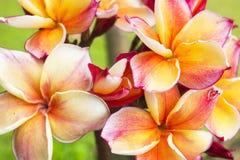 Plumeriablumen stockfotografie