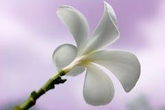 Plumeriablumen Stockbild