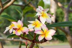 Plumeriablumen auf Baum Lizenzfreie Stockbilder