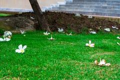 Plumeriablumen auf Rasen stockbild