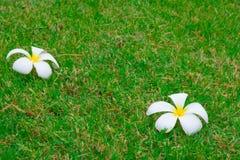 Plumeriablumen auf Rasenhintergrund stockfoto