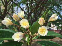 Plumeriablumen im Garten beginnen zu blühen Stockfotos