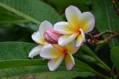 Plumeriablumen mit Regen Lizenzfreie Stockfotografie