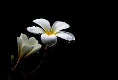 Plumeriablumen, mit schwarzem Hintergrund Stockfotografie