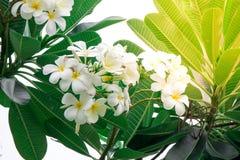 Plumeriablumen und -blätter auf Baum Lizenzfreie Stockfotos