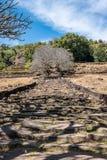 Plumeriablumenbäume an den Ruinen des Bottich Phou-Khmertempels, Laos stockfotos