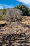 Plumeriablumenbäume an den Ruinen des Bottich Phou-Khmertempels, Laos lizenzfreie stockfotos