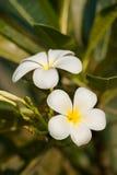 Plumeriablumenblüte Stockfotografie