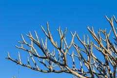 Plumeriabomen zonder bladeren. Royalty-vrije Stock Fotografie