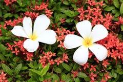 Plumeriaen på Rubiaceae i trädgården Royaltyfria Bilder