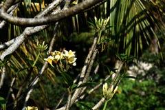 Plumeriafrangipani met heldere witte gele bloesems op een zonnige dag en een zacht groen op achtergrond Stock Afbeelding