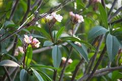 Plumeriafrangipanien blommar med bladet på träd royaltyfria foton