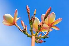 Plumeriaguling och rosa färger i den utomhus- trädgården Royaltyfria Foton