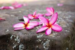Plumeriaguling och rosa färger i den utomhus- trädgården Arkivbild