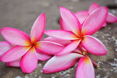 Plumeriaguling och rosa färger i den utomhus- trädgården Arkivfoton