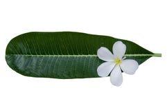 Plumeriaon leaf on white background. Plumeria on Green leaf on white background Royalty Free Stock Image