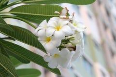Plumeriaorchidee en het Ochtend lichte langzame leven Stock Fotografie