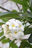 Plumeriaorchidee en het Ochtend lichte langzame leven Stock Foto