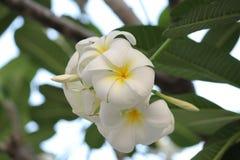 Plumeriaorchidee und helles langsames Leben des Morgens Lizenzfreie Stockfotos