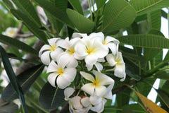 Plumeriaorchidee und helles langsames Leben des Morgens Stockfotos