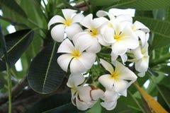 Plumeriaorchidee und helles langsames Leben des Morgens Lizenzfreies Stockfoto