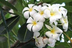 Plumeriaorchidee und helles langsames Leben des Morgens Lizenzfreies Stockbild