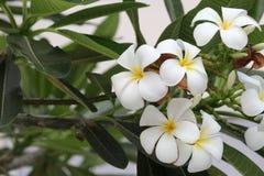 Plumeriaorchidee und helles langsames Leben des Morgens Stockbilder