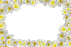 Plumerias στο άσπρο υπόβαθρο Στοκ φωτογραφία με δικαίωμα ελεύθερης χρήσης