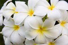Plumerias Photos stock
