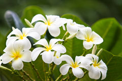 Plumerias Stock Photography