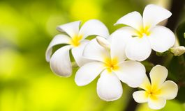 Plumerias Royalty Free Stock Image