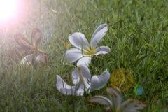 Plumerias Στοκ Εικόνες