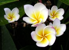 Plumerias Photographie stock