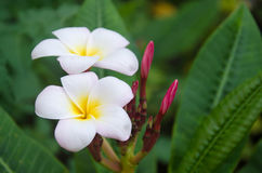 Plumerias blancs Photographie stock