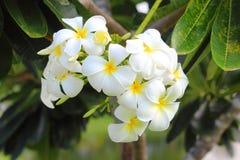 Plumerias blancs et jaunes Image stock