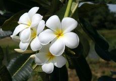 Plumerias de florescência Fotografia de Stock Royalty Free