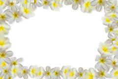 Plumerias en el fondo blanco Fotografía de archivo libre de regalías