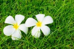 Plumerias on a grass Stock Photo