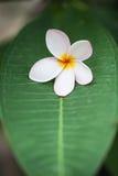 Plumerias on the green leaf Stock Photo