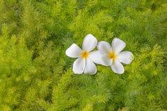 Plumerias on green leafs Royalty Free Stock Photos