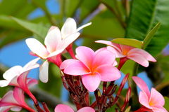 Plumerias roses Image stock