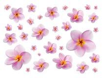 Plumerias on white background Stock Photos