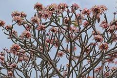Plumeriaträd Arkivbilder