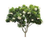 Plumeriaträd (frangipani) som isoleras på vit bakgrund arkivfoton