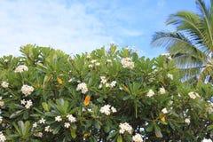 Plumeriaträd i Hawaii Royaltyfri Foto