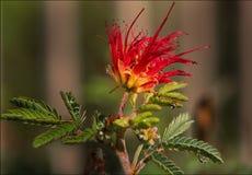 Plumero de hadas del desierto de Beautiiful con las gotitas de la lluvia Fotos de archivo libres de regalías